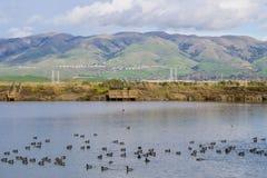 Sikt in mot monumentmaximum; sothönor som simmar på, saltar dammet; Don Edwards Wildlife Refuge södra San Francisco Bay, Alviso,  arkivbild