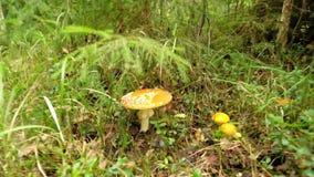 Sikt på den AmanitaMuscaria champinjonen i en skog arkivfilmer