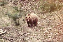 Sikt på europeisk brunbjörn royaltyfri fotografi