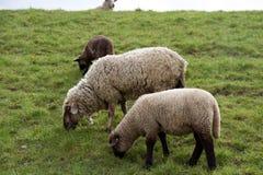 Sikt på matningsgräs för tre sheeps på ett gräsområde under en molnig himmel i rhedeemsland Tyskland arkivfoton
