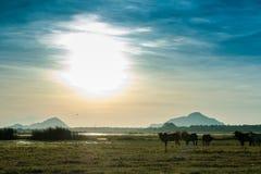 Sikt på sjön och fält med stående tjurar royaltyfri bild