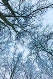 Sikt på träd och filialer på vintern Royaltyfri Fotografi