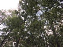 Sikt till himlen från skogen som håller ögonen på treetopsna arkivfoton
