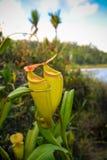 Sikt till kannav?xten av nepenthesen, Atsinanana region, Madagascar royaltyfria bilder
