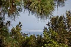Sikt till och med filialer av barrträdträd på den dimmiga och molniga dalen, Tenerife, Spanien Fotografering för Bildbyråer