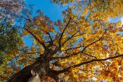 Sikt till och med nedgånglövverk av eken i Central Park Royaltyfri Fotografi