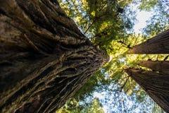 Sikt underifrån av detaljen av det grova skället av ett av de imponerande träden av redwoodträdnationalparken, Kalifornien, USA arkivfoto