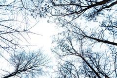 Sikt underifrån av kala filialer av träd i kall vinterdag Royaltyfri Foto