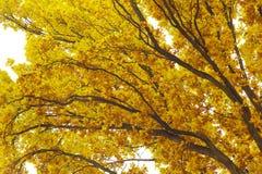 Sikt, upp till som eken förgrena sig på höstlig tid Royaltyfria Foton