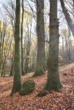 Sikten av bokträdstammar med mossa och vaggar Arkivbild