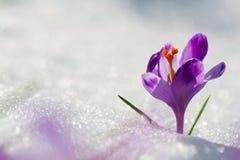 Sikten av den magiska blommande våren blommar krokus som växer från insnöat djurliv Fantastiskt solljus på vårblommakrokus royaltyfria bilder
