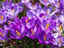 Sikten av den magiska blommande våren blommar krokus som växer i djurliv Royaltyfria Foton