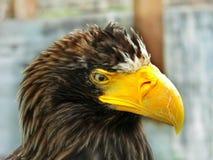 Sikten av den majestätiska örnen royaltyfri bild