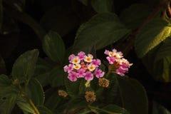 Sikten av den rosa lantanaen blommar på en buske arkivbild