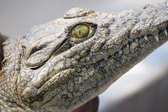 Sikten av en krokodil royaltyfria bilder
