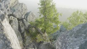 Sikten av enormt sörjer träd i en skog med mossa täckte stenblock Vildmarklandskapskogen med sörjer träd och mossa på arkivfilmer
