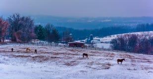 Sikten av hästar och snö täckte lantgårdfält i lantliga York County Arkivbild