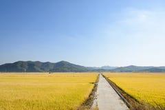 Sikten av mycket mognar guld- risfält i höst Royaltyfria Bilder