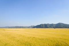 Sikten av mycket mognar guld- risfält i höst Arkivfoto