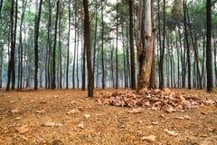 Sikten av sörjer träd i parkerar med himmel som är full av smog och torkade sidor på jordningen under trädet royaltyfri fotografi