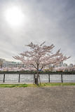 Sikten av sakura träd vid floden från Sakuranomiya parkerar i Osak Royaltyfria Foton