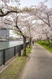 Sikten av sakura träd vid floden från Sakuranomiya parkerar i Osak Royaltyfri Fotografi