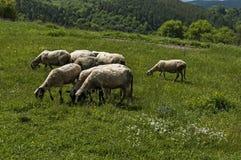 Sikten av vårfältet och vita får för grupp stänger sig upp, det Plana berget Royaltyfria Foton