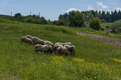 Sikten av vårfältet och vita får för grupp stänger sig upp, det Plana berget Fotografering för Bildbyråer
