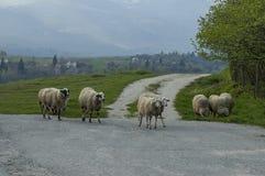 Sikten av vårfältet, vägen och vita får för grupp stänger sig upp, det Plana berget Arkivbild