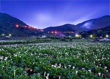 Sikten för lantgårdar för Callalilja i Taiwan Taipei Royaltyfria Foton