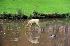 Sikten på hjortstatyanseendet i sjön i parkerar i wiesbaden hessen Tyskland royaltyfria bilder