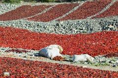 Sikter av söta röda peppar som torkar i Cachi, Royaltyfria Bilder