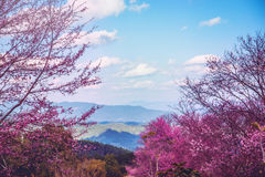 Sikter för berg för bakgrundsnatur naturliga Blommacerasoidesna Arkivbild