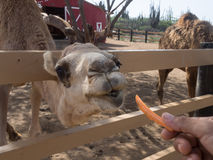 Sikter runt om Phillips Animal Sanctuary - kamel Arkivfoto