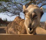 Sikter runt om Phillips Animal Sanctuary - kamel Royaltyfria Bilder