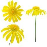 siktsyellow för blomma tre royaltyfria foton