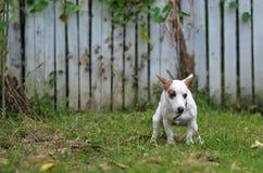 Sila den russell hunden som är skyldig för aktern eller, skita på gräs, och ängen parkerar in utomhus Fotografering för Bildbyråer