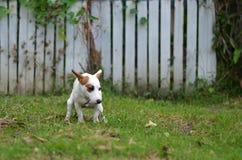 Sila den russell hunden som är skyldig för aktern eller, skita på gräs, och ängen parkerar in utomhus Royaltyfri Foto