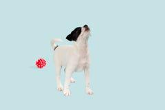 Sila den Russell Terriervalpen Arkivfoton
