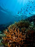 Siladen Island Drop-off. Wide-angle image of Staghorn Coral and thousands of reef fish on drop-off near Siladen Island jetty Stock Image