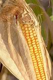 Silage corn ear still in the field Stock Photos