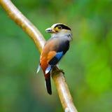 Silber-breasted Broadbill-Vogel Stockbilder