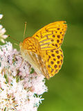 Silber-gewaschener Fritillary 9, Argynnis paphia Lizenzfreies Stockfoto