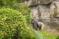Silber hinterer Gorilla Standing Up Lizenzfreies Stockfoto