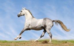 Silber-weißer Stallion Stockfotos