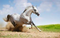 Silber-weißer Stallion auf Feld Stockfotos