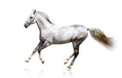Silber-weißes Stalliongaloppieren Stockfotos