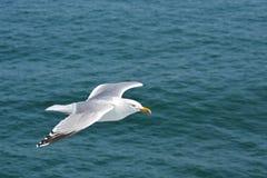Silbermöwe, die über dem Ozean entlang Seite eine Nordseefähre ansteigt Lizenzfreies Stockbild