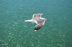 Silbermöwe im Flug lizenzfreie stockfotografie