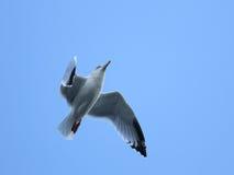 Silbermöwe im Flug Lizenzfreies Stockfoto